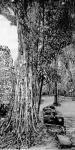 马培童日志-带你走进柬埔寨,我画吴哥窟的大榕树,生命力极强,都生长在石窟【图1】