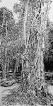 马培童日志-带你走进柬埔寨,我画吴哥窟的大榕树,生命力极强,都生长在石窟【图5】