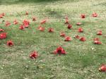 石广生日志-《木棉花》 木棉花又称攀枝花,英雄花。早习练于公园,见木棉【图3】