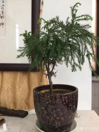 罗树辉日记-四尺斗方国画《寒杉》 ,去年游张家界,发现到处都是茂盛的寒杉。找了一小段寒杉,从【图2】
